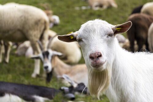 Differenze di allevamento tra pecore e capre