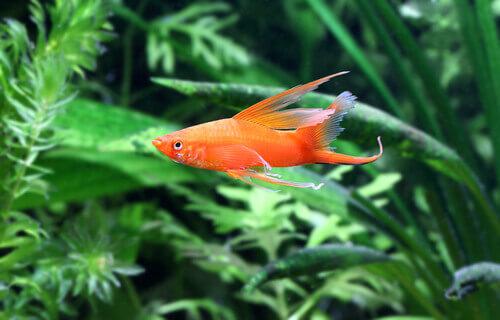Pesce portaspada in un acquario