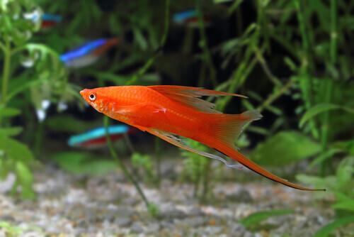 Tutto quello che c'è da sapere sul pesce portaspada