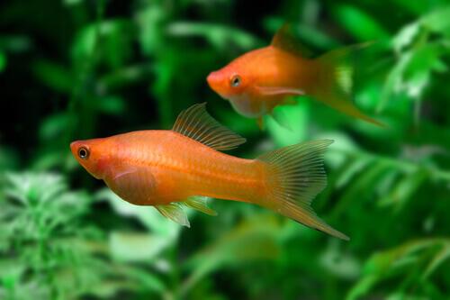Due pesci rossi con le alghe