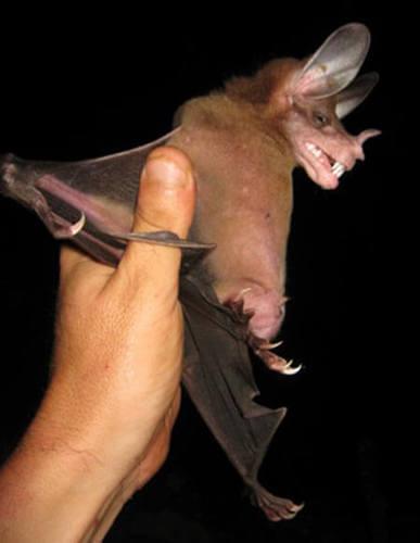 Pipistrello con grandi orecchie