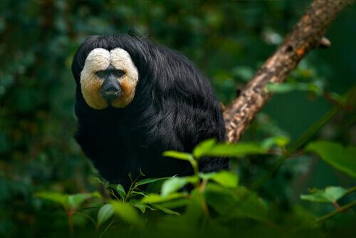 La pitecia dalla faccia bianca, una delle scimmie più strambe che ci siano