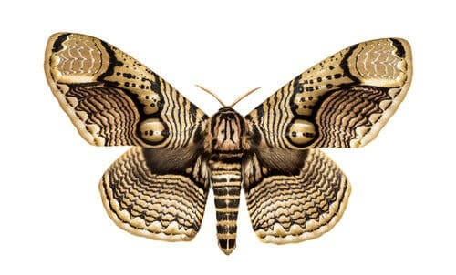 Brahmin Moth (Brahmaeidae)