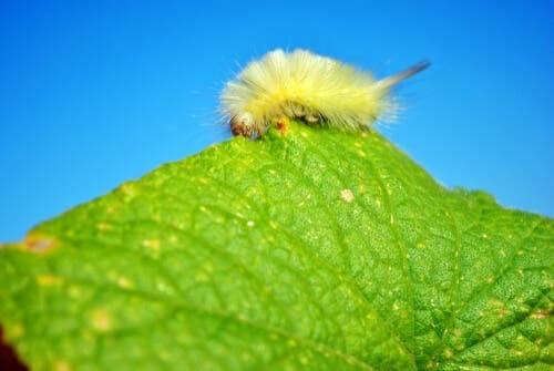 Falena linfantride (Dasychira pudibunda)