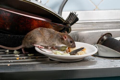 Ratto che mangia