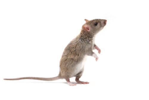 Il ratto grigio: un roditore intelligentissimo