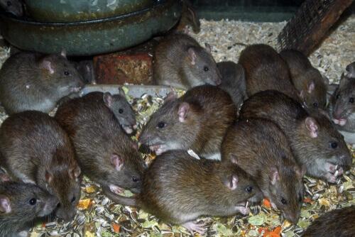 Rattus norvegicus: ratti che mangiano semi