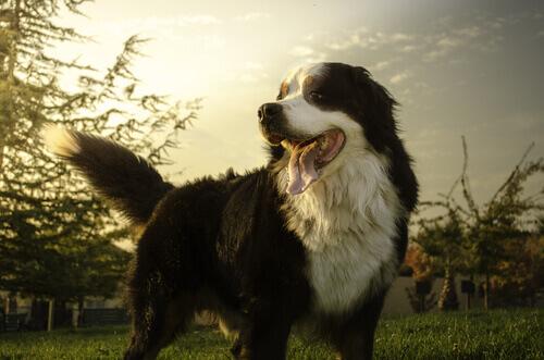 Le razze di cani più vulnerabili al cancro