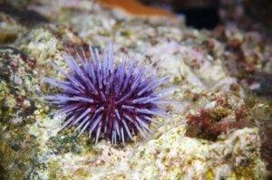 Il riccio di mare: caratteristiche e habitat