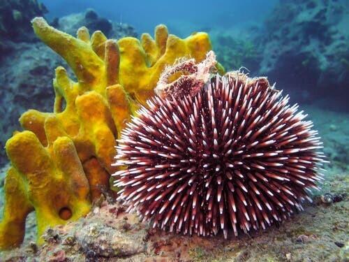 Riccio nelle profondità marine