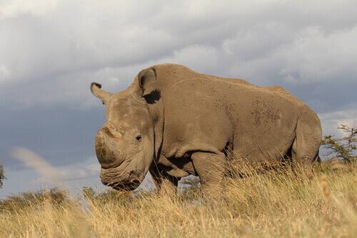 Rinoceronte bianco, esempio dell'uso di embrioni in laboratorio per salvare le specie dall'estinzione
