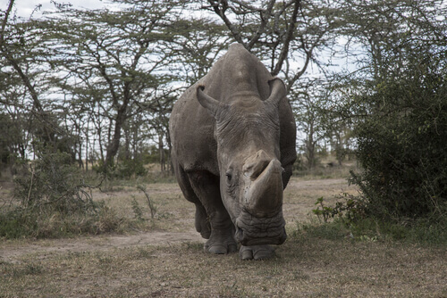 Rinoceronte bianco in un parco