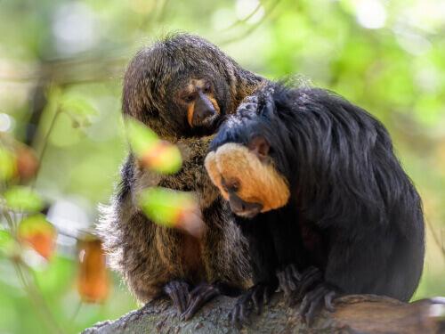 Scimmia Saki: coppia su un ramo
