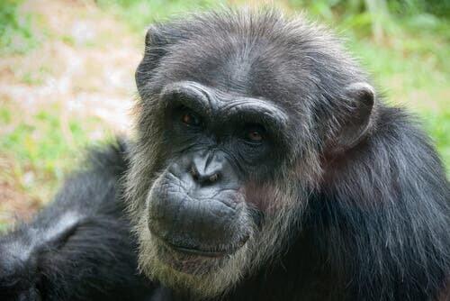 Scimpazè nella giungla