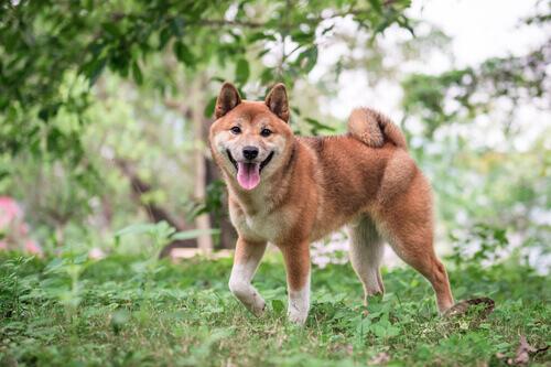 Shiba inu che cammina nel verde.