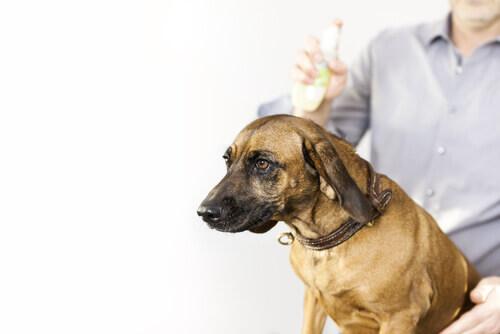 Cane a cui viene dato un antiparassitario esterno