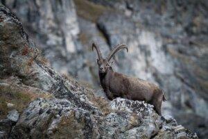 Lo stambecco: caratteristiche dell'animale simbolo delle Alpi