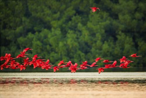 Stormo ibis rossi