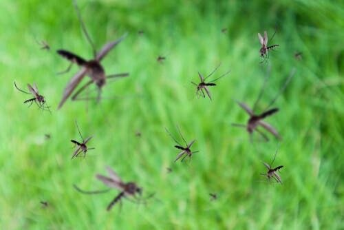Stormo di zanzare