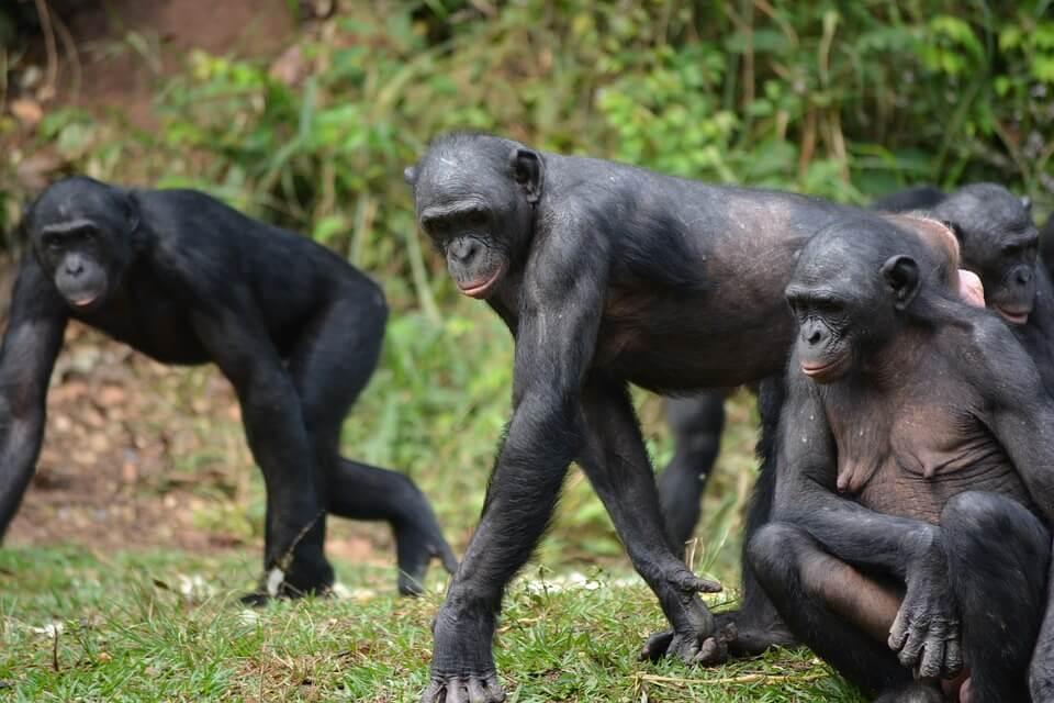 Branco di bonobo, scimmie dalla voce acuta