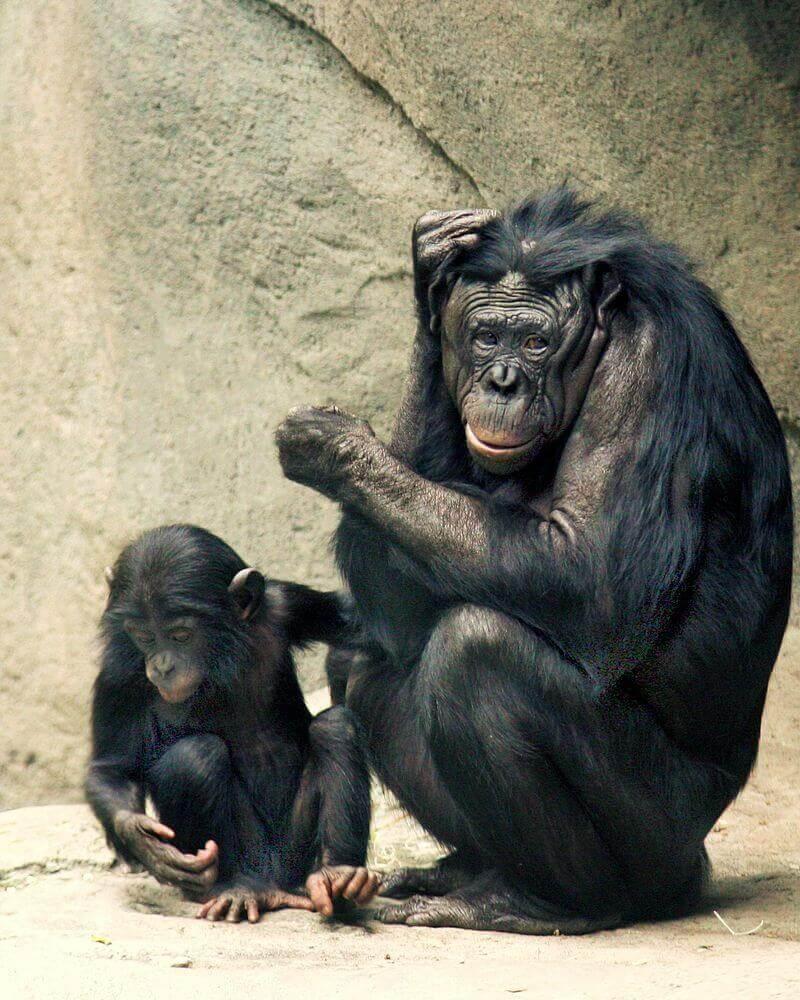 Scimmia bonobo appoggiata a una parete