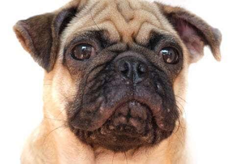 L'acne nei cani: che fare se il vostro cane ha i brufoli!