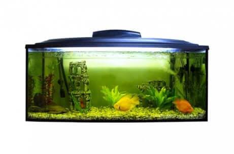 Il pH dell'acquario è un fattore fondamentale sia per gli animali che per le piante. Acquario sporco di alghe.