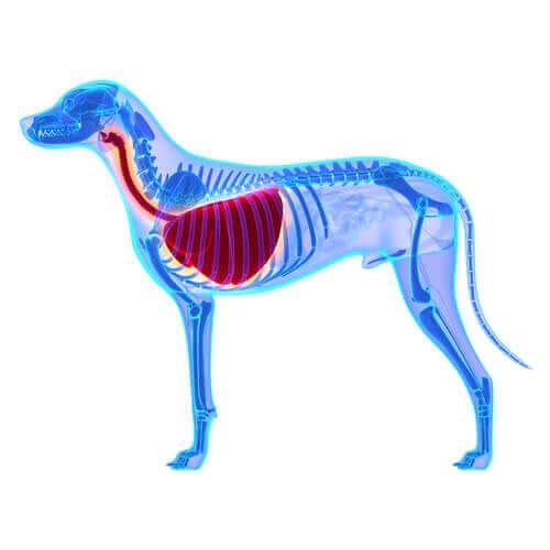 Edema polmonare nel cane: di cosa si tratta?