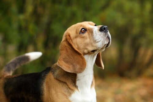Beagle che annusa.