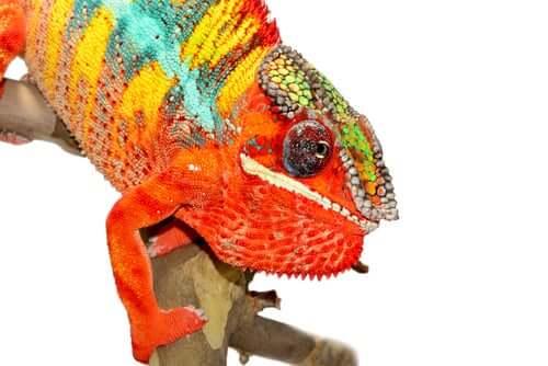 Camaleonte pantera cambia colore per diventare rosso.