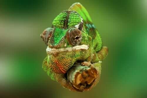 Vista frontale i come i camaleonti cambiano colore.