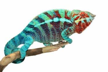 Ecco come fanno i camaleonti a cambiare colore