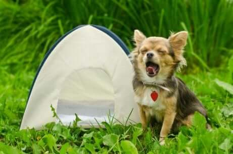 Andare in campeggio con il proprio cane prevede l'adozione di alcune precauzioni. Cane con mini tenda.