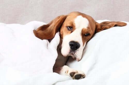 Cane ammalato sdraiato nel letto e con sguardo triste.