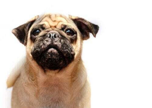 L'acne nei cani: cagnolino con l'acne sul muso.
