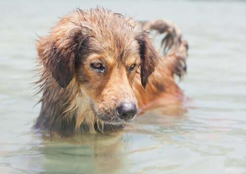 Fare attenzione alle acqua in cui si immerge il cane aiuta a prevenire la leptospirosi.