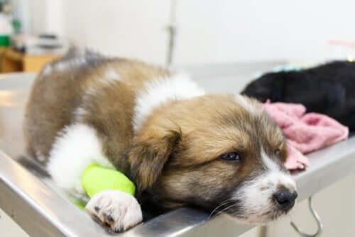 Cane malato che ha appena avuto un attacco di convulsioni.