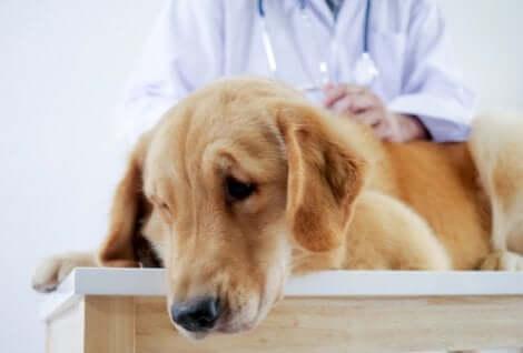 Cane in visita dal veterinario dopo aver ingerito del veleno.