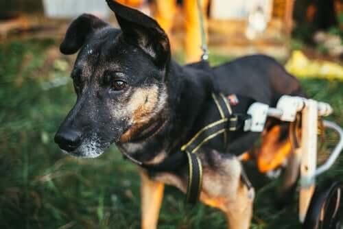 Cane con il carrellino a causa delle malattie neurologiche.