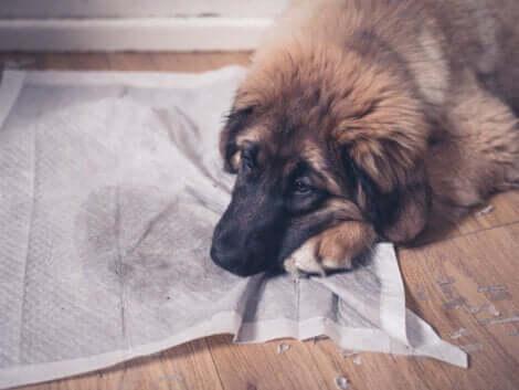 I cani urinano in casa a causa di problemi comportamentali, ma anche per cause mediche o fisiologiche.