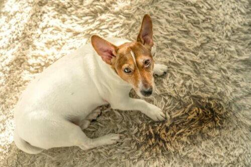 Cinque ragioni per cui i cani urinano in casa