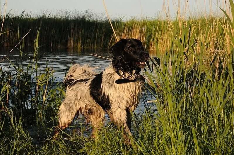 Cane da caccia in un pantano.
