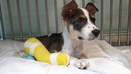 In cosa consiste la decalcificazione nei cani?