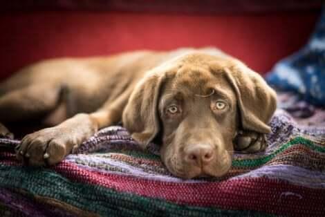 Cane ammalato sdraiato su una coperta.