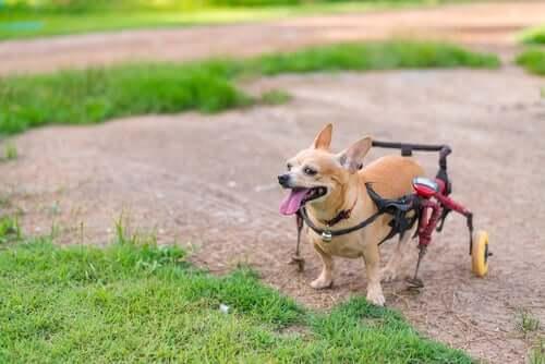 Cane paraplegico con supporto.