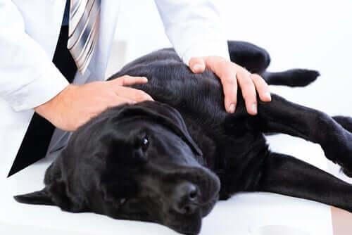 Cane durante una visita veterinaria.