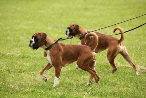 Coppia di cani a passeggio.
