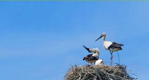 La cicogna, un bellissimo uccello portafortuna