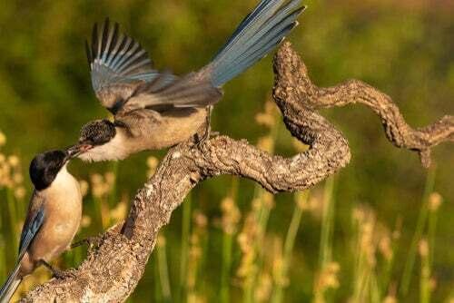 Un corvido maschio conquista l'attenzione della femmina.