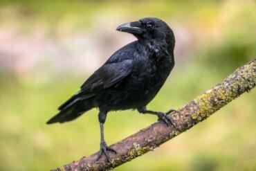 I corvi e le loro sorprendenti abilità cognitive